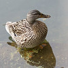 MALLARD, female <i>Anas platyrhynchos</i> Central Park New York, New York USA