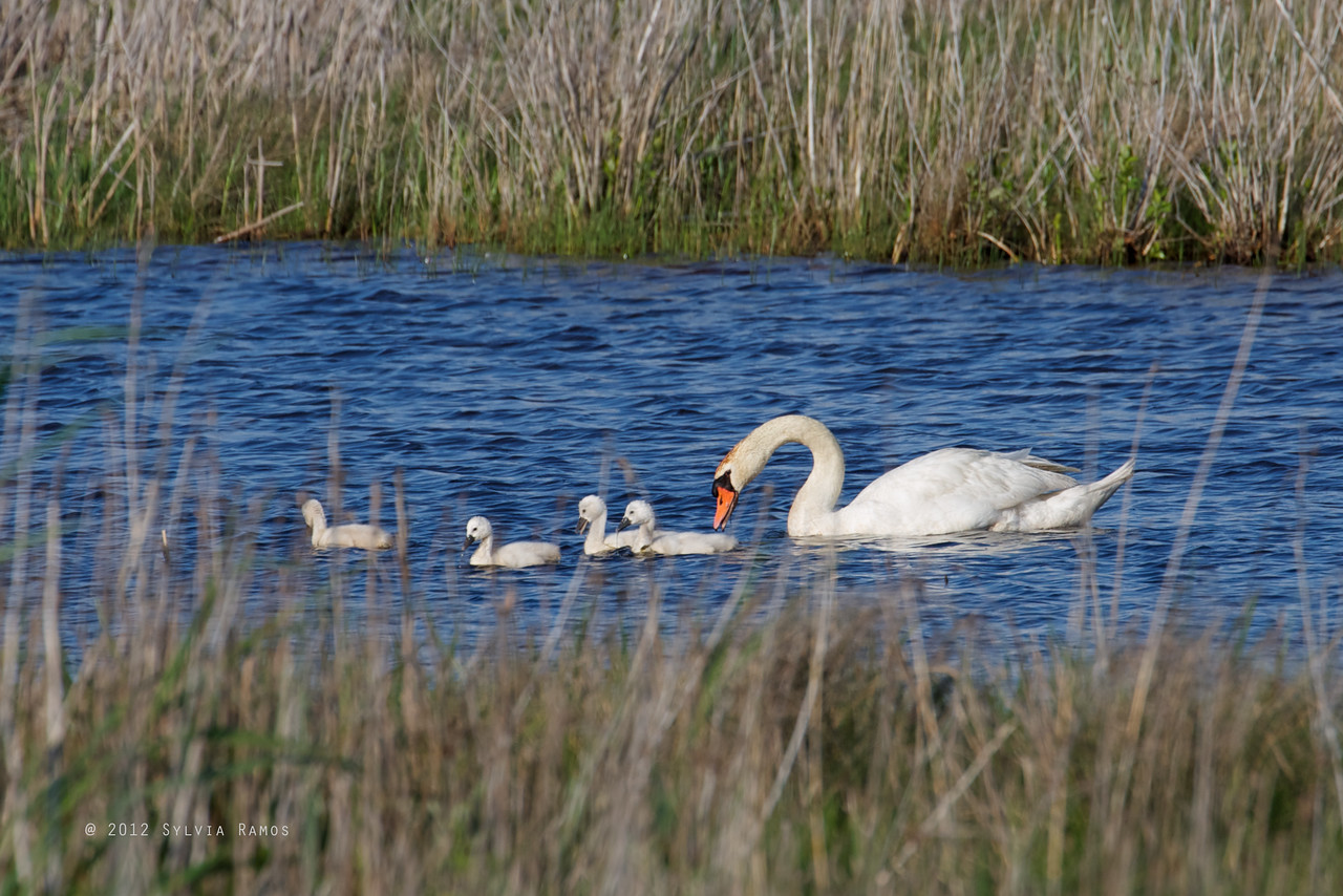 MUTE SWAN <i>Cygnus olor</i> South Meadow Cape May, New Jersey USA