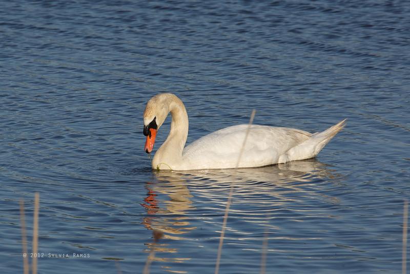 MUTE SWAN <i>Cygnus olor</i> South Meadow Cape May, New Jersey USA