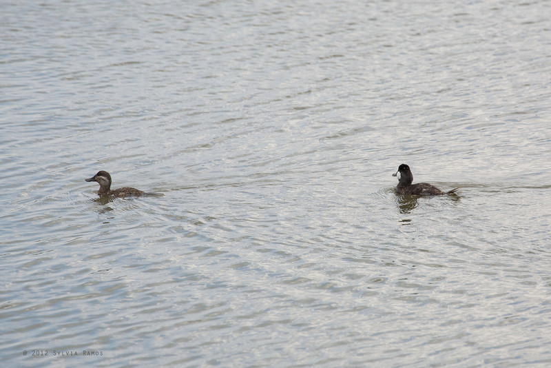 RUDDY DUCK, male and female <i>Oxyyura jamaicensis</i> Heslerville, Cape May New Jersey, USA