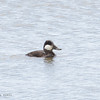 RUDDY DUCK, male <i>Oxyyura jamaicensis</i> Heslerville, Cape May New Jersey, USA