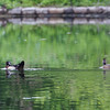 WOOD DUCK, male and female <i>Aix sponsa</i> Prospect Park, New Jersey USA