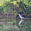 BLACk-CROWNED NIGHT HERON <i>Nycticorax nycticorax</i> Prospect Park, Brooklyn New York, USA