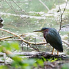 GREEN HERON <i>Butorides virescens</i> Prospect Park, Brooklyn New York, USA