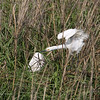 SNOWY EGRET <i>Egretta thula</i> Heislerville, Cape May New Jersey, USA