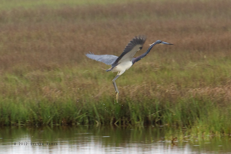TRICOLORED HERON <i>Egretta tricolor</i> Nummy Island, Cape May New Jersey, USA