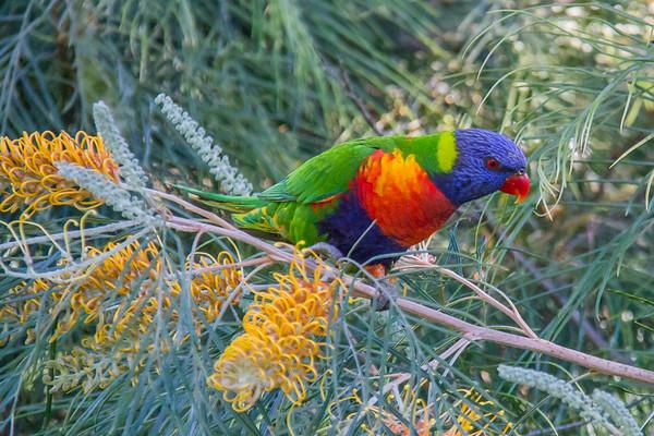 Rainbow Lorikeet (Australia)