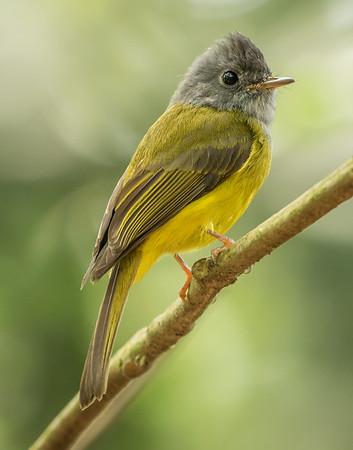 Gray-head Canary