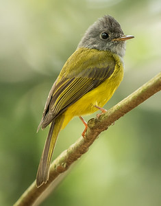 Gray-head Canary