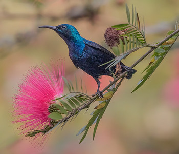 Purple Sunbird with Bottle Brush