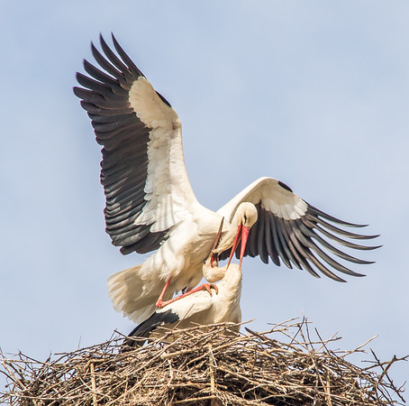 White Storks of Selcuk (Turkey)