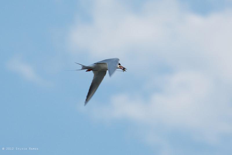 COMMON TERN <i>Sterna hirundo</i> South Meadow, Cape May New Jersey, USA
