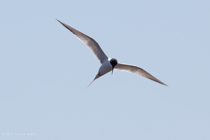 COMMON TERN <i>Sterna hirundo</i> South Meadow, Cape May New Jersey, USA