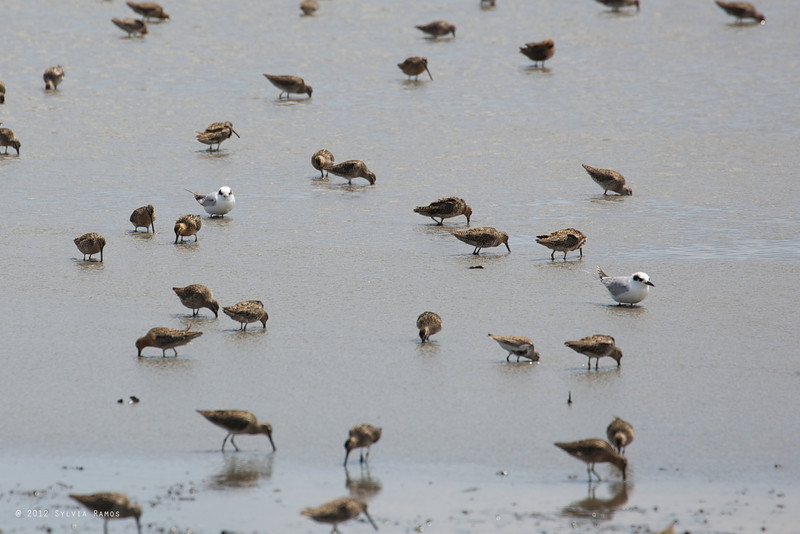 FORSTER'S TERN with Short-billed Dowitchers <i>Sterna fosteri</i> Heislerville, Cape May New Jersey, USA