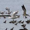GLAUCOUS GULL <i>Larus hyperboreus</i> Heislerville, Cape May New Jersey, USA