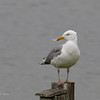 HERRING GULL <i>Larus argentatus</i> Jamaica Bay New York, USA