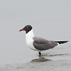 LAUGHING GULL <i>Leucophaeus atricilla</i> Nummy Island, Cape May New Jersey, USA