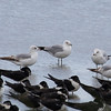 RING-BILLED GULL with Skimmers in the foreground <i>Larus delawarensis</i> Heislerville, Cape May New Jersey, USA