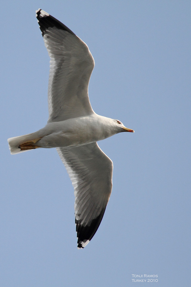 Yellow-legged Gull <i> Larus cachinnans</i> Turkey