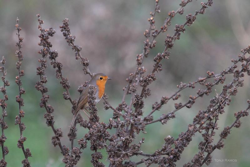 European robin  <i>Erithacus rebecula</i> Turkey