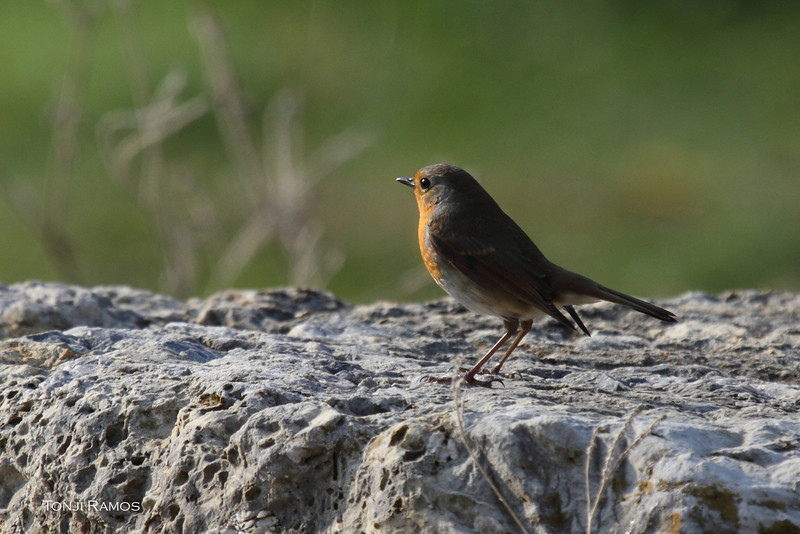 European robin  <i>Erithacus rebecula</i> Turkey