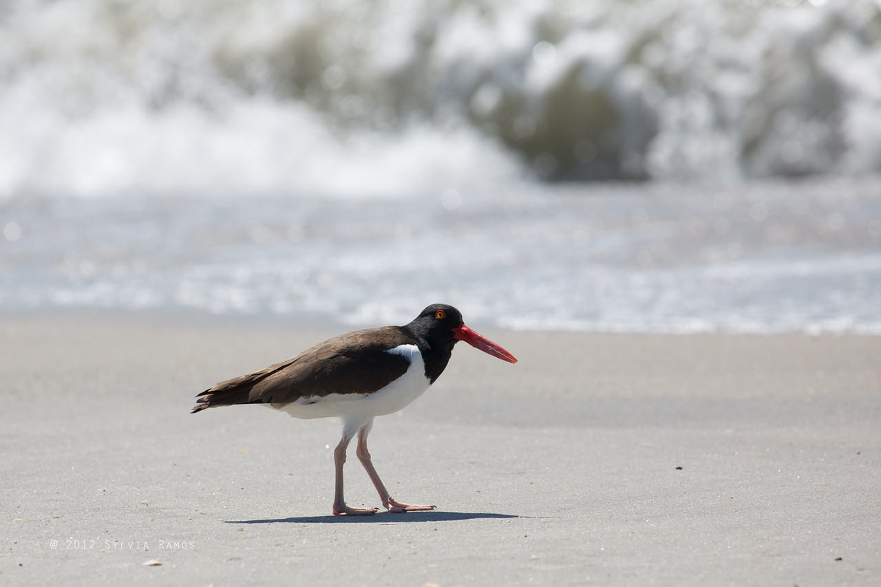 AMERICAN OYSTERCATCHER <i>Haematopus palliatus</i> South Meadow, Cape May New Jersey, USA
