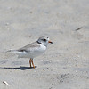 PIPING PLOVER Charadrius melodus</i> South Meadow, Cape May New Jersey, USA