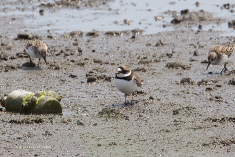 SEMIPALMATED PLOVER with Semipalmated Sandpipers <i>Charadrius semipalmatus</i> Heislerville, Cape May New Jersey, USA