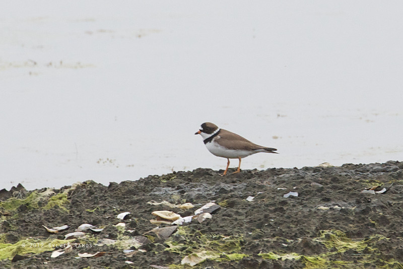 SEMIPALMATED PLOVER <i>Charadrius semipalmatus</i> Nummy, Cape May New Jersey, USA