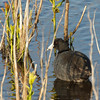 AMERICAN COOT <i>Fulica americana</i> South Meadow, Cape May New Jersey, USA