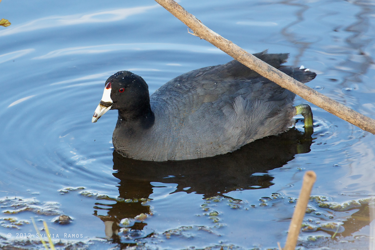 AMERICAN COOT <i>Fulica americana</i> South Meadow, Cape May New Jersey, USA  It has seaweed wrapped around its upper bill.