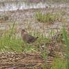 CLAPPER RAIL <i>Rallus longirostris</i> Nummy, Cape May New Jersey, USA