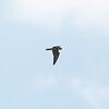 PEREGRINE FALCON <i>Falco peregrinus</i> Heislerville, Cape May New Jersey, USA