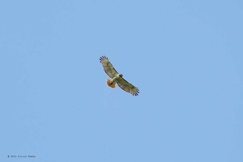 RED-TAILED HAWK <i>Buteo jamaicensis</I> Belleplain, Cape May New Jersey, USA