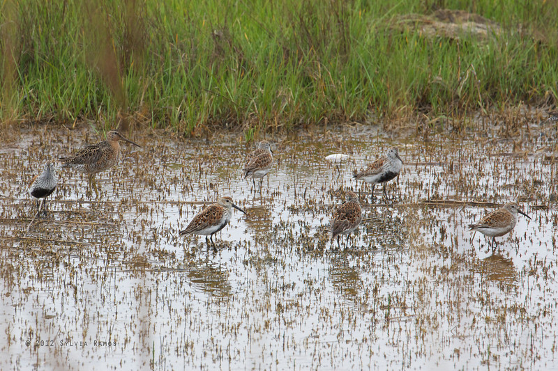 DUNLIN with a Short-billed Dowitcher <i>Calidris alpina</i> Nummy Island, Cape May New Jersey, USA