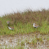 DUNLIN <i>Calidris alpina</i> Nummy Island, Cape May New Jersey, USA