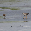 GREATER YELLOWLEGS with a Short-billed Dowitcher <i>Tringa melanoleuca</i> Heislerville, Cape May New Jersey, USA