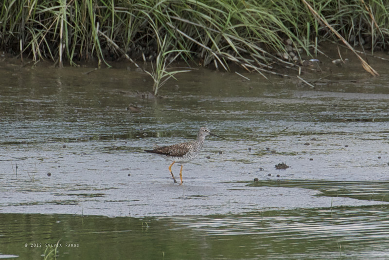 GREATER YELLOWLEGS <i>Tringa melanoleuca</i> Heislerville, Cape May New Jersey, USA