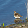 LEAST SANDPIPER <i>Calidris minutilla</i> South Meadow, Cape May New Jersey, USA