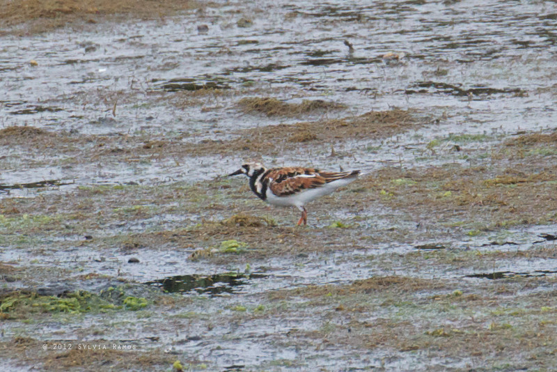 RUDDY TURNSTONE <i>Arenaria interpres</i> Nummy Island, Cape May New Jersey, USA