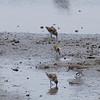 SEMIPALMATED PLOVER <i>Calidris pusilla</i> Heislerville, Cape May New Jersey, USA