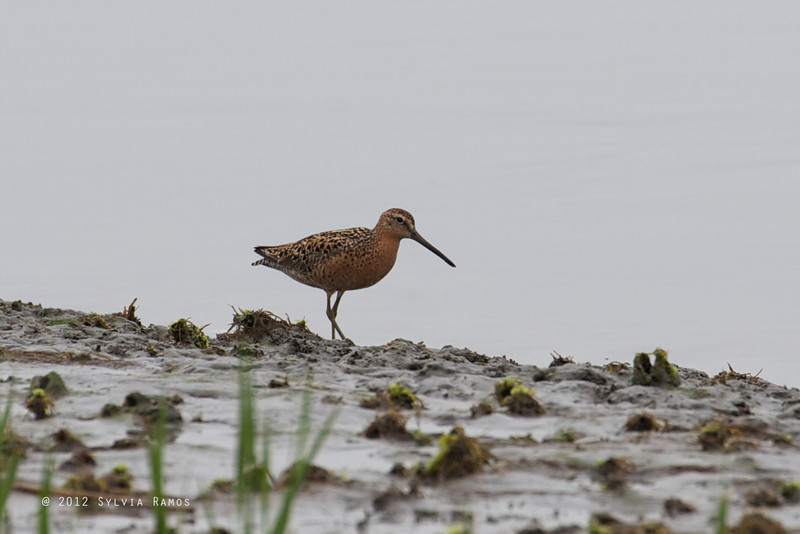 SHORT-BILLED DOWITCHER, breeding plumage <i>Limnodromus griscus</i> Nummy Island, Cape May New Jersey, USA