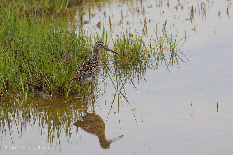 SHORT-BILLED DOWITCHER <i>Limnodromus griscus</i> Nummy Island, Cape May New Jersey, USA