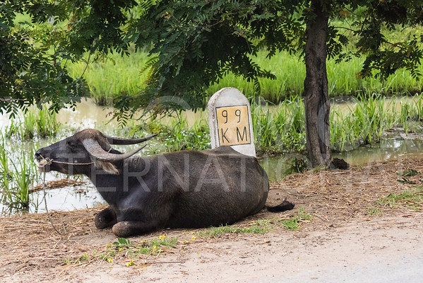 Water Buffalo at 99KM
