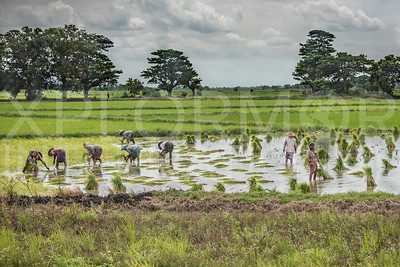 Burmese Women at Work in the Rice Paddies