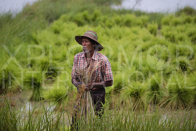 Burmese Man at Work in a Rice Paddy