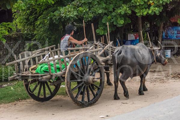 Water Buffalo Pulling a Cart