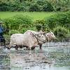 Plowing the Rice Paddy
