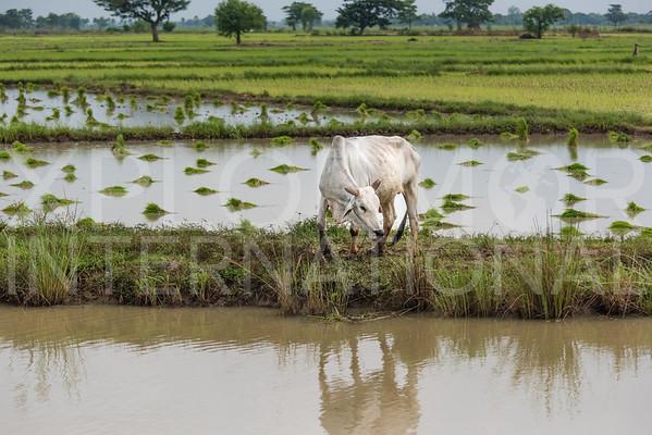 Burmese Cow