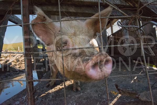 Pig Snout 2